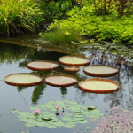 Lilly pads in one of the many ponds in the adjoining gardens