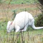 Albino Kangaroo. They can't survive elsewhere because of predators.